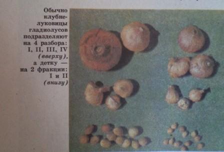 Посадка гладиолусов в Сибири