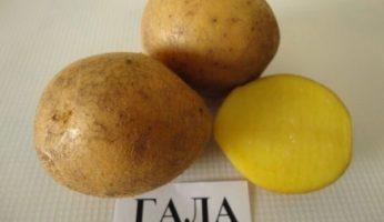 Картофель Кумач: описание сорта, отзывы, фото, агротехника
