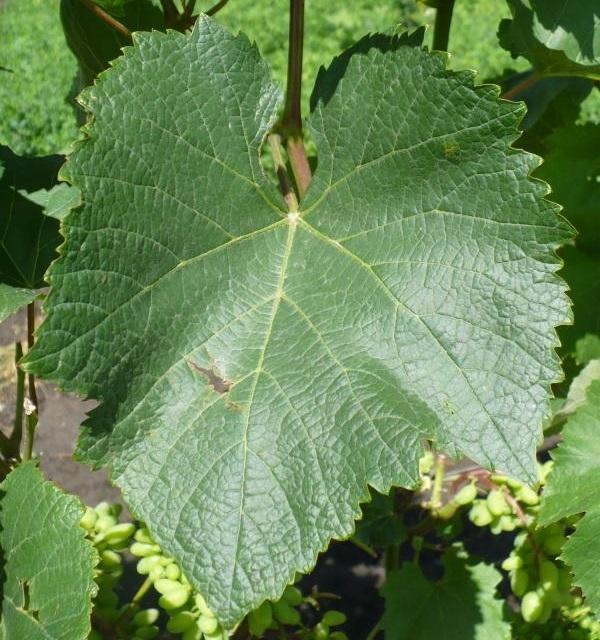 Виноград Юпитер: описание сорта, фото, отзывы