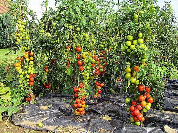 Урожайные сорта томатов