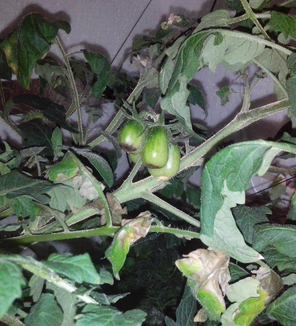 Удобрение помидор кальцием