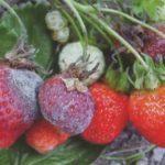 Клубника Купчиха: описание сорта, фото, отзывы садоводов