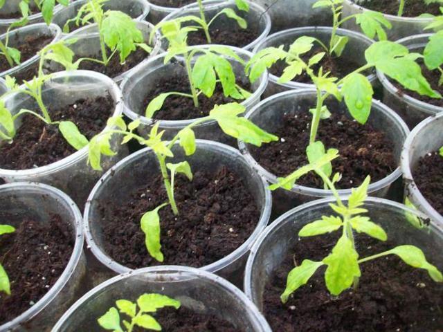 С рассады помидор опадают листья