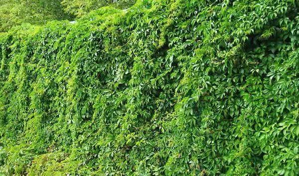 Многолетние вьющиеся растения для беседки