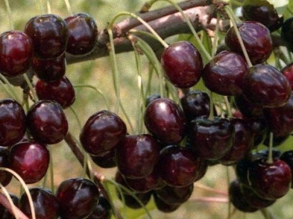 Черешня Радица: описание сорта, морозостойкость, опылители, фото, отзывы
